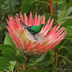 Decorating a protea – Prefering fynbos, aloe and protea covered hills, it's no surprise to have found this malachite sunbird (Nectarinia famosa) feeding on a beautiful protea in the grounds of the Hugenot memorial in Franschoek, South Africa. Protea Art, Flor Protea, Protea Flower, Exotic Flowers, Amazing Flowers, Wild Flowers, Pretty Birds, Beautiful Birds, South African Birds