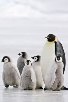 different chick angles, next to adult penguin Nocturnal Animals, Arctic Animals, Nature Animals, Zoo Animals, Cute Animals, Animals Planet, Wildlife Photography, Animal Photography, Travel Photography