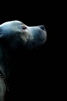 Pit Bull silhouette #pitbull