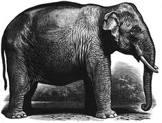 Indian Elephant - Woodcut by Chris Wormell