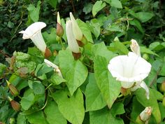 Any gardener that has had the displeasure of having bindweed in their garden, knows how frustrating and infuriating these weeds can be. Controlling bindweed can be difficult, but it can be done. Learn more here. Slugs In Garden, Garden Weeds, Garden Insects, Herb Garden, Morning Glory Vine, Organic Insecticide, Organic Pesticides, Organic Weed Control, Invasive Plants