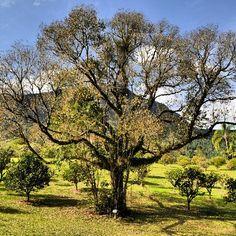 Gramado, RS, Brasil. #tree #robertotostes