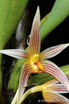 Bulbophyllum affine - สิงโตงาม/ - Butterfly & Orchids Photo Gallery in Thailand