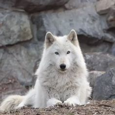Alawa a female Ambassador For Wolf Conservatory Center NY ~ Returning the calls of her pack family Arktischer Wolf, Dire Wolf, Wolf Love, Wolf Howling, Wolf Pup, Wolf Photos, Wolf Pictures, Beautiful Wolves, Animals Beautiful