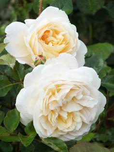English Rose Austin 'Crocus Rose'