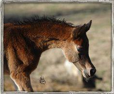Egyptian Arabian foal Armando RCA, by The Sequel RCA