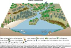 """Protective natural resources Conceptual diagram illustrating how natural buffers can help prevent erosion and flooding in residential and urban areas. Diagram from """"Comprehensive Strategy for Reducing Maryland's vulnerability to Climate Change Phase I"""" (pg. 20) - http://ian.umces.edu/press/publications/197/  diagram,wetlands,buffers,beach,flooding,urban,coastal,dune,forest,vegetation"""