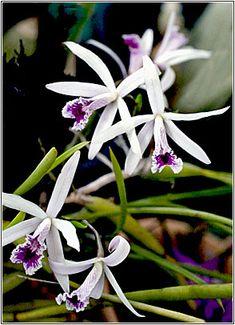Laelia Lundii, micro orchid, native to Brazil