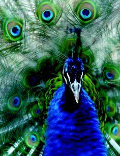 Peacock - El Salvador National Zoo