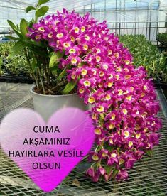 How to Care for Orchids So They Live & Grow Them Correctly So They Bloom: Learn How You Can Care for Your Orchids Quickly & Easily The Right Way Before You Kill Them Slowly & Painfully The Wrong Way Unusual Flowers, Rare Flowers, Amazing Flowers, Pink Flowers, Beautiful Flowers, Pink Orchids, Orchids Garden, Orchid Plants, Exotic Plants