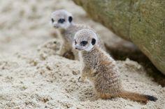 Meerkats - Dublin Zoo