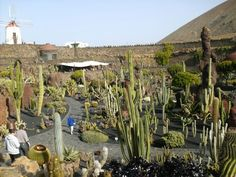 Cactus garden on Lanzarote.  Jardin de Cactus.  This was the last masterpiece of the artist Cesar Manrique