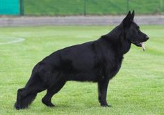 Looking for fierce dog names? Here is the list of tough and fierce dog names. Black German Shepherd Dog, German Shepherd Pictures, German Shepherd Puppies, German Shepherds, Big Dogs, I Love Dogs, Cute Dogs, Best Dog Names, Schaefer