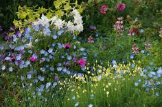 """Baby Blue Eyes"" ,Dianthus carthusianorum, Eschscholzia ccaespitosa Aquilegia 'Krystal' Lupinus & 'Rodeo Rose' by anniesannuals, via Flickr"