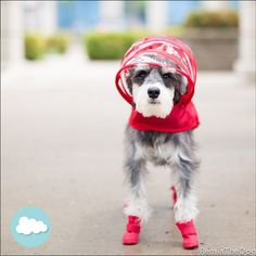 Remix the Dog wearing our red dog raincoat and looking so handsome! We love the look. Get your dog raincoat at www.PushPushi.com