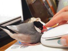 おぉ!私は文鳥さん @komatsunotsumaをフと思っての RTです:-D RT @nobunnolife: 文鳥が完全に私の「クリックしながら文鳥をなでる技法(通称:一石二文鳥)」にハマッてしまったようでケージから出すと… pic.twitter.com/6EM2slXF9g