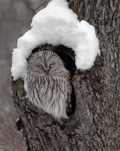 The Ural Owl. facebook.com