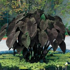 Fast and easy to grow, Elephant Earsor Colocasia Esculenta, won't go unoticed in your garden! Especially this striking cultivar in a deep, rich purple! Almost black! While the whole plant can grow up to 6 feet, each leaf can reach 2 to 3 feet in length and 1 feet in width! If the sheer size of this lovely foliage isn't enough to capture your attention, the truly unusual color of this variety makes Black Magic Elephant Ears a necessity for your garden!