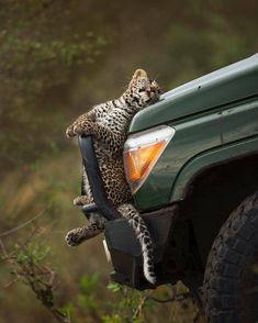 Wildlife Animals & Nature — .  Photo by @sakthiraasai Relax Leopard Cub....