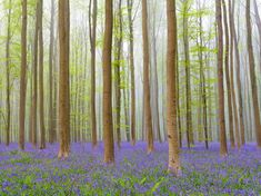 Hallerbos Forest: Halle, Belgium This beech forest in Belgium becomes a misty dreamscape during springtime, as thousands of bluebells carpet the forest floor.