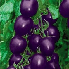 Shop our best value Purple Tomato Seeds on AliExpress. Check out more Purple Tomato Seeds items in ! And don't miss out on limited deals on Purple Tomato Seeds!