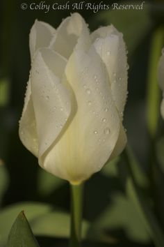 Raindrops on Purissima Tulip