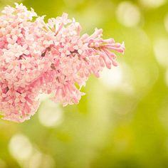 Pink Lilacs fine art photograph 8x8
