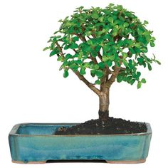 Brussel's Bonsai Dwarf Jade In Water Pot in Clay Planter at Lowe's. A native of South Africa, the Jade is an easy-care evergreen Bonsai that should never be exposed to temperatures below F. The trunk of the Jade is