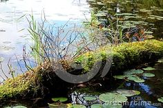 A closeup detailed image of a log sitting in the water of a pond covered in a thick layer of mass with sedge grass growing on it and lily pads floating around it. Pond Covers, Growing Lilies, Detailed Image, Grass, Lily, Water, Plants, Gripe Water, Grasses