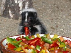 skunk eating a chilli with Spicy vegs