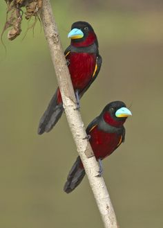 BLACK AND RED BROADBILLS quickwitter:  dougstumblr: (via whoaohemmy) These are black and red broadbills. I thought there was a hair on the photo but both birds have it…could it be a Salvador Dali type 'stache to go with the electric blue beak? That's some beak you got right there…