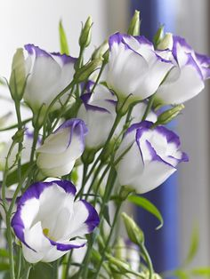 Purple and white lisianthus Beautiful Flowers Photos, Rare Flowers, Butterfly Flowers, Exotic Flowers, Summer Flowers, Flower Photos, Amazing Flowers, Beautiful Roses, My Flower