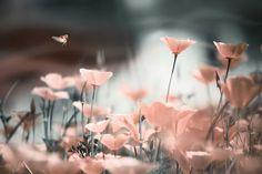Vlies fotobehang Roze klaprozen in het zonlicht - Featured products   Muurmode.nl