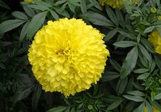 30 Best Flowers for Drying - Gardening Channel Flowers In The Attic, Big Flowers, Types Of Flowers, Amazing Flowers, Dried Flowers, Growing Marigolds, Planting Marigolds, Carnation Plants, Flowers For Algernon