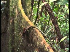 Leaf Cutter Ants - The abundance of plants in the Central & South American rain forest provide Leaf Cutter Ants with a never ending supply of leaves. They don't eat the leaves but, instead, use them to grow a fungus on which to feast. (Shadow of the Sun - BBC)