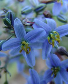 CASSA BLUE®  Dianella caerulea  Stunning spring display