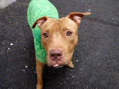 GONE - 03/21/15 --- Manhattan Center  PEBLES - A1029215   FEMALE, BROWN / WHITE, AM PIT BULL TER MIX, 2 yrs OWNER SUR - EVALUATE, NO HOLD Reason PERS PROB  Intake condition EXAM REQ Intake Date 03/02/2015 https://www.facebook.com/photo.php?fbid=971508272862052