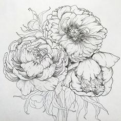 Pencil Drawing Design Peony drawing by Jeanna Dano - Botanical Drawings, Botanical Art, Botanical Illustration, Watercolor Illustration, Watercolor Paintings, Peony Drawing, Floral Drawing, Flower Sketches, Art Sketches
