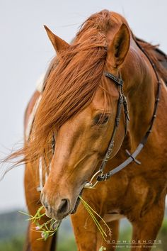 "spanishbarb: ""neighsinthenight: ""Paloued. Arabian-Berber horse. © Margit Susanne Schmid 2014 Source: http://schmidshots.at/ "" Desires for a red horse. Has two homozygous black horses. """