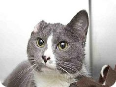 No longer listed- Pittsburgh, PA - Domestic Mediumhair. Meet TINKERBELL, a cat for adoption.  Gray Or Blue (Mostly) Age: Adult Sex: Female ID#: 7984187 Hair: Medium  Hello, my name is Tinkerbell!  Three words to describe me would be.. Lovable, Loving and Sweet. http://www.adoptapet.com/pet/12036939-pittsburgh-pennsylvania-cat
