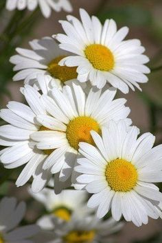 Find parts of your perfect world on Indulgy, keep them for yourself, and share to others. Sunflowers And Daisies, My Flower, Colorful Flowers, White Flowers, Flower Power, Beautiful Flowers, Daisy Love, Garden Projects, Beautiful Gardens