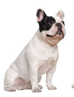 bulldog frances, perros bulldog frances de raza                                                                                                                                                                                 Más