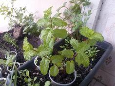 Como manter seu hortelã sempre bonito, dicas de jardinagem - YouTube