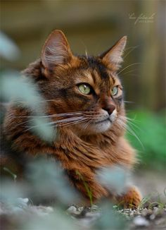beautiful brown long haired kitty
