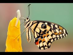 How a Caterpillar Becomes a Butterfly, Explained