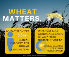 The reality is that wheat grown here is sustaining someone else globally. Farm Facts, American Agriculture, Global Food, Education Information, Farm Life, Farmers, Country, Fun, Rural Area