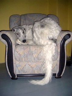 z- Borzoi- On Chair (european-borzoi.de) -Gavin