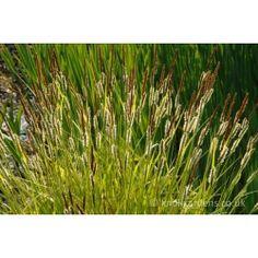 £6.75 Carex Elata Aurea 2litre