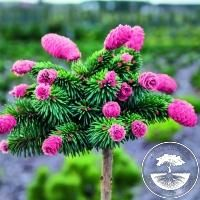 Picea Abies Medusa Pa Picea Abies Bloom Where Youre Planted Dwarf Conifers