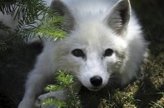 The Arctic Fox relies on polar bear leftovers for survival — but as melting Arctic ice make hunting more difficult for polar bears, the arctic foxes' scavenging becomes more arduous. The warmer temperatures are also inviting red foxes — which are double the size of arctic foxes — into more northern habitats.